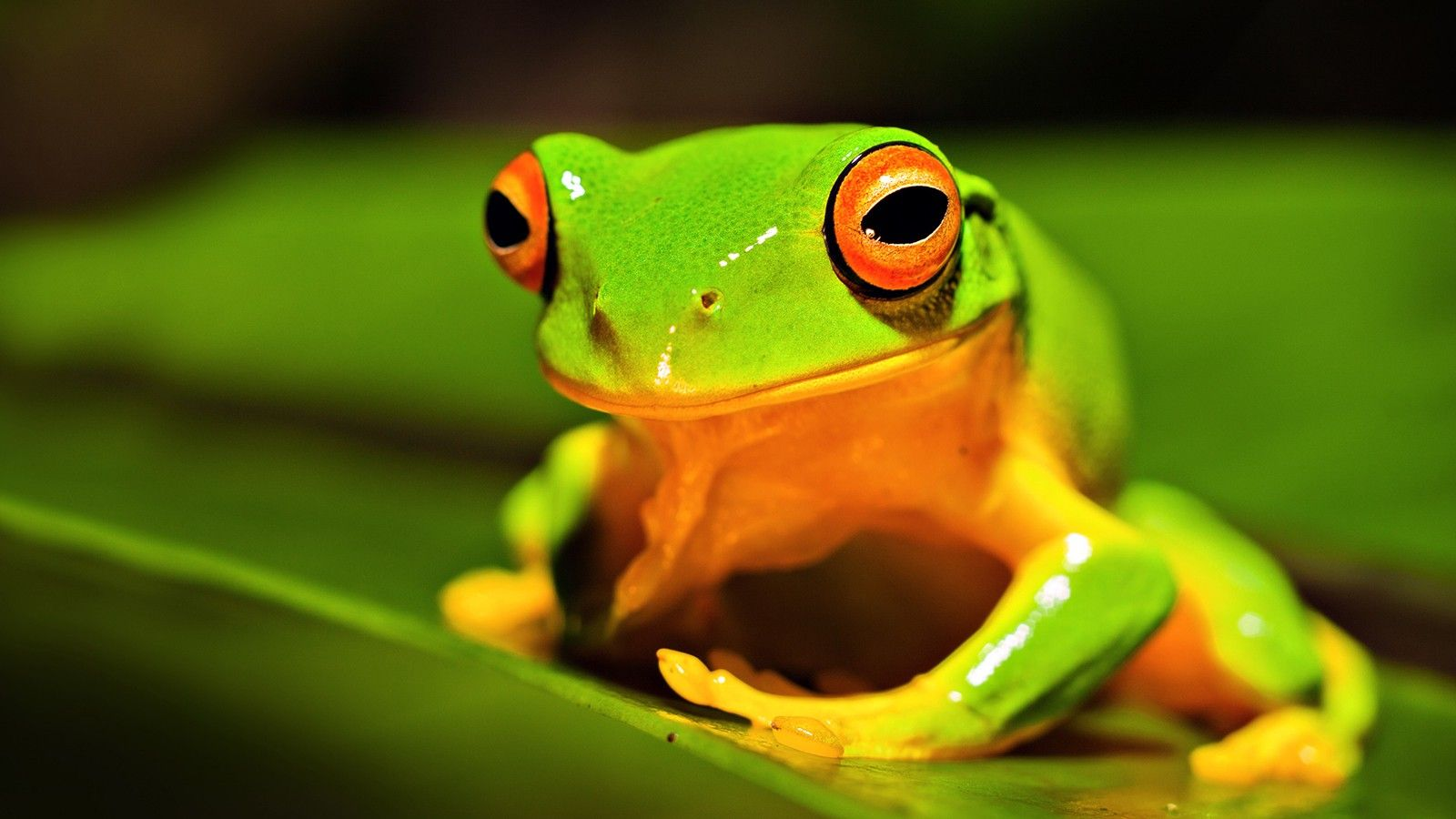Frog Wallpapers Images Photos Pictures Pics Frog Wallpapers