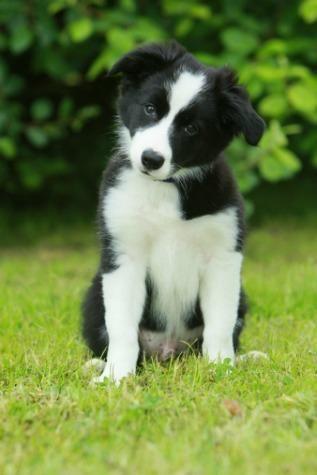 15 Cutest Puppy Breeds Border Collie Pictures Border Collie