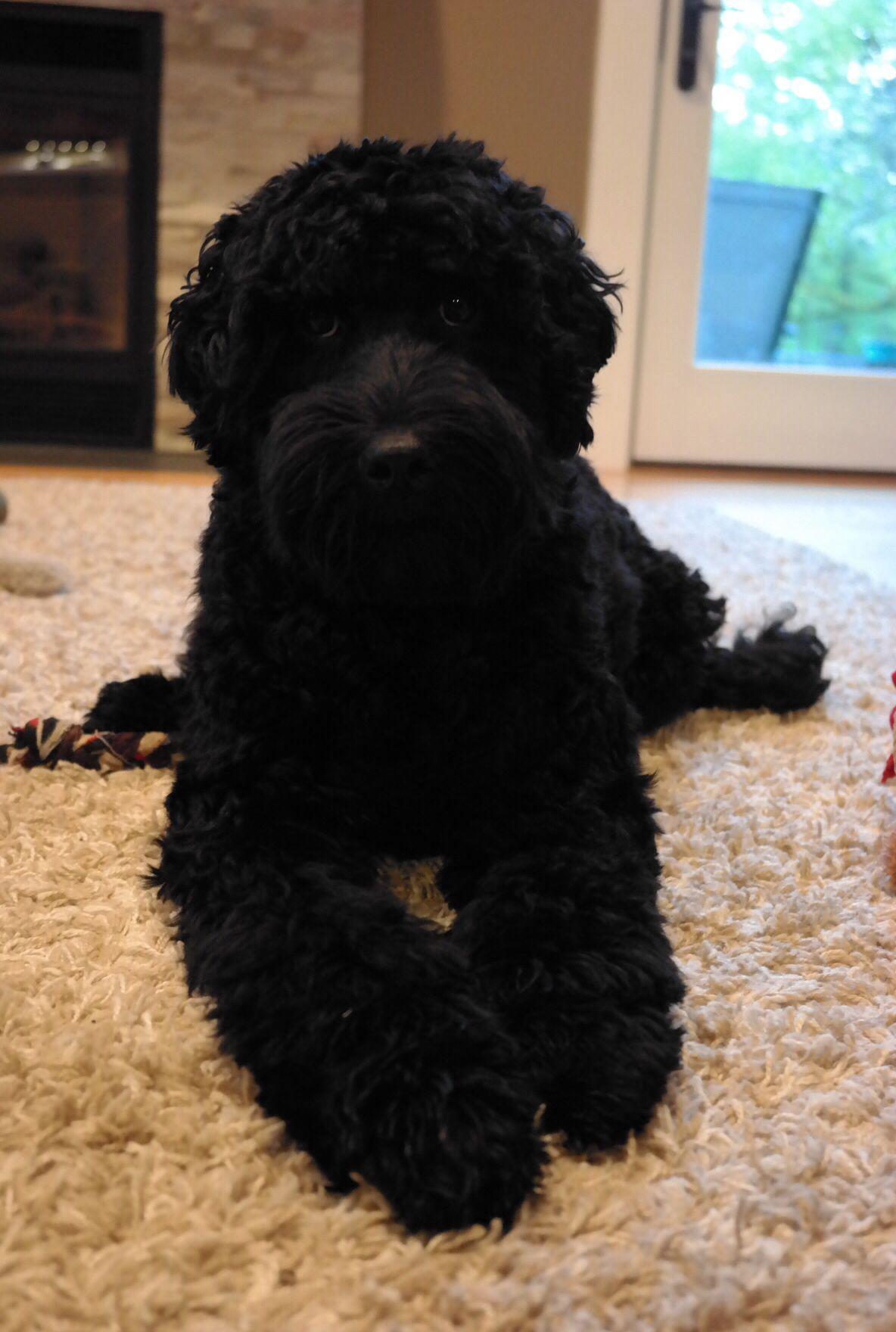 Black Labradoodle Labradoodle Black Labradoodle Labradoodle Puppy