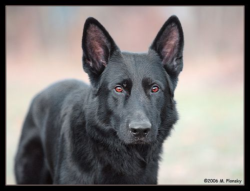 Some day I want to have a Black German Shepherd in my family ♥ 코리아카지노 ◈ http://lucky417.com/ ◈ 우리카지노