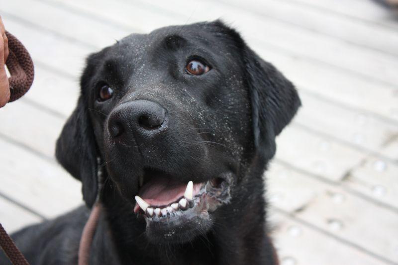 LabradorZucht Labrador, Labrador retriever, Dogs