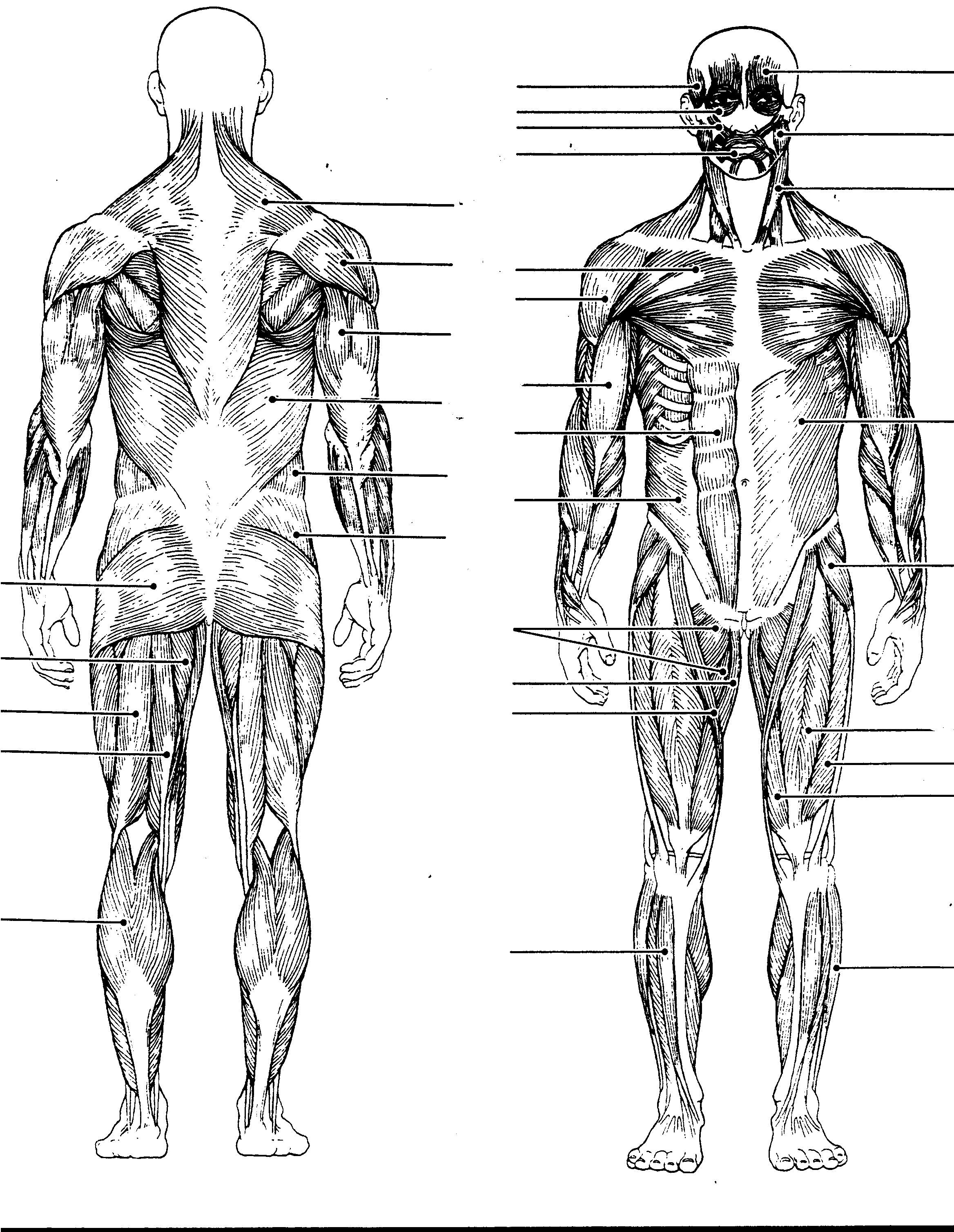 muscular system diagram blank muscular system diagram with labels anatomy chart body [ 2336 x 3018 Pixel ]