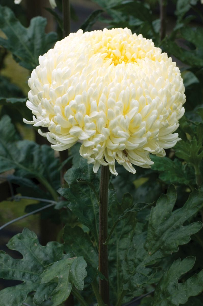 Find Creamist White Online From Woolmans Chrysanthemums These Stunning Incurving Blooms Are Particularly Tough And Virtually Flowers Plants Beautiful Flowers