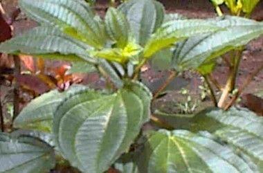 Calvoa sessiliflora