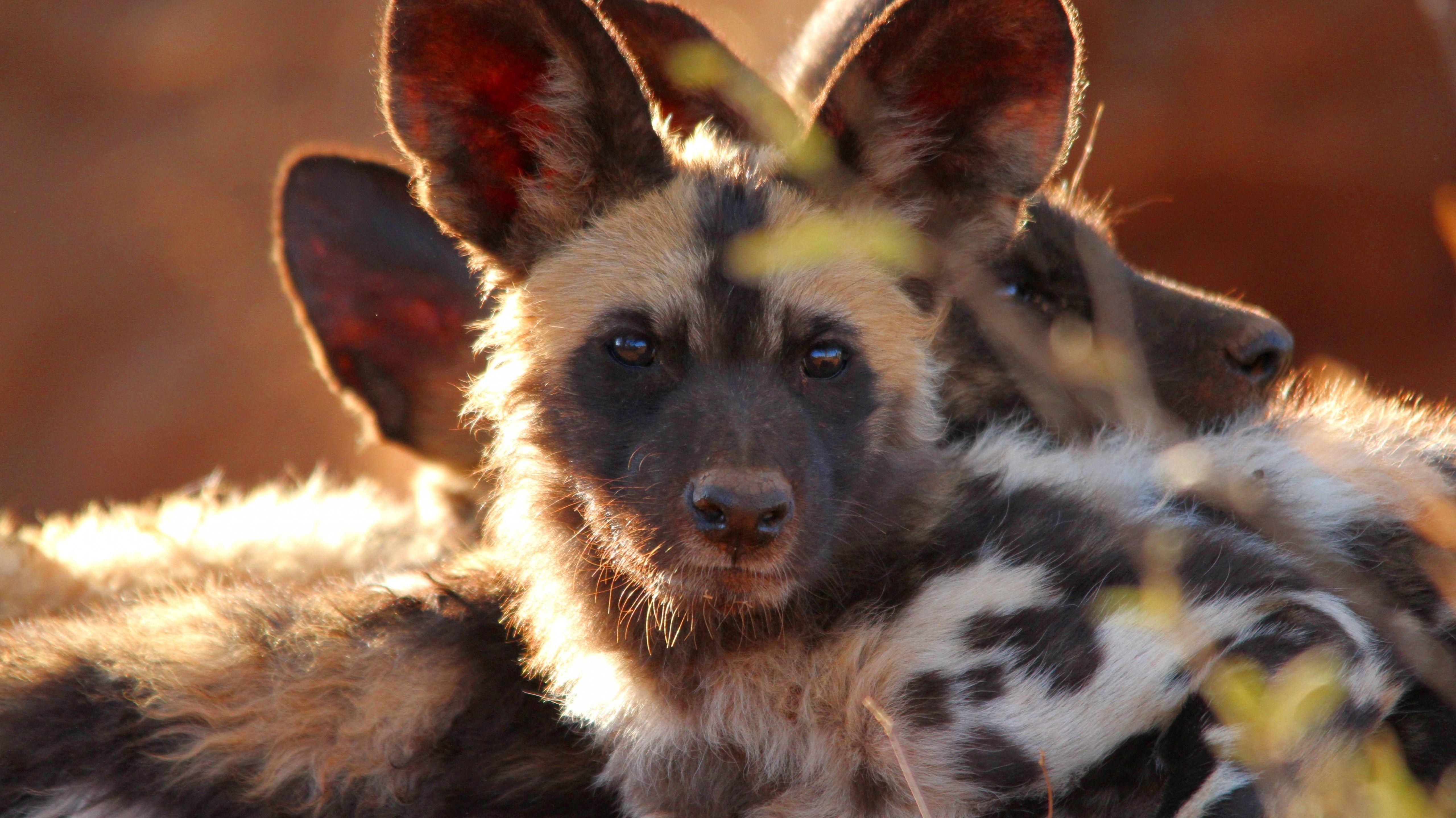 Wild dog look eyes predator fur nature animal 29230
