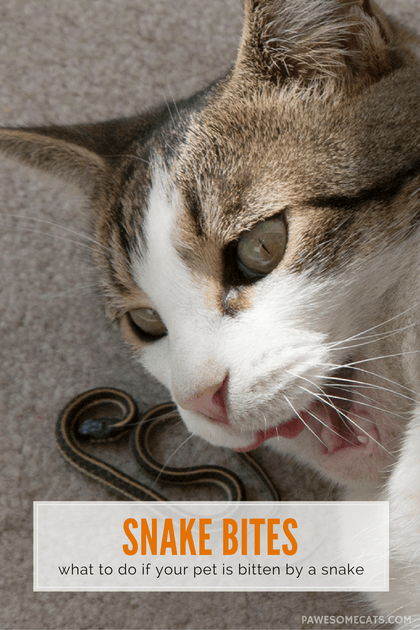 Summer Safety For Cats Snake Bites Cats Snake Bites Pet Care