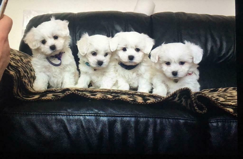 23+ Maltese Bichon Puppies in 2020 Bichon, Maltese puppy