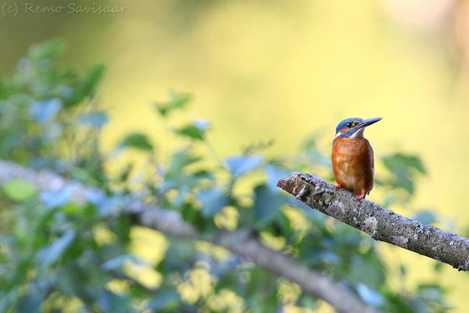Kingfisher, Estonian bird of the year 2014. Photo by Remo