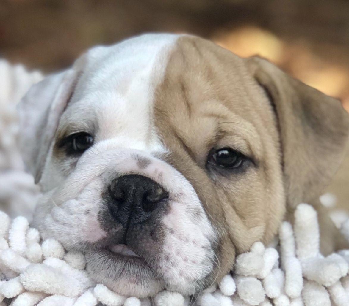 10 week old English Bulldog | Old english bulldog, Bulldog ...