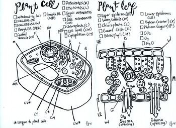 biology coloring plants Leaf coloring, Plant cell