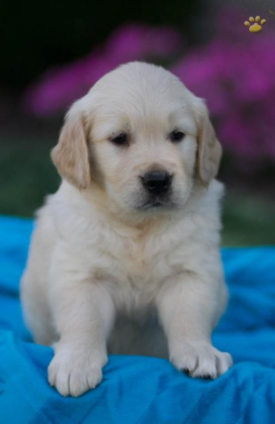 Dusty Golden Retriever Puppy For Sale In Newburg Pa Lancaster