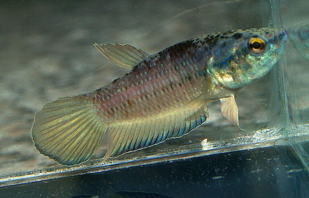 Offering a pair (male and female) of rare Betta picta