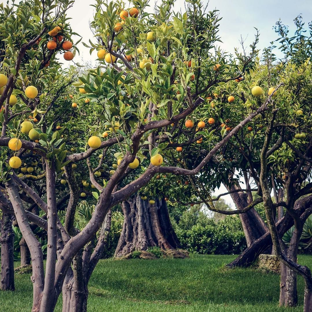 It's #citrus season in #sicily - this pretty little grove was packed with orange lemon lime & olive trees!