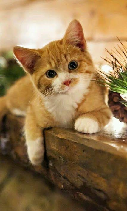 Pin by Ruska on животни Kittens cutest, Pets, Cute animals