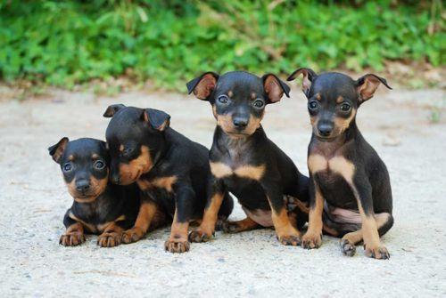 perros pincher miniatura ahora en mascotaselegantes com quiero