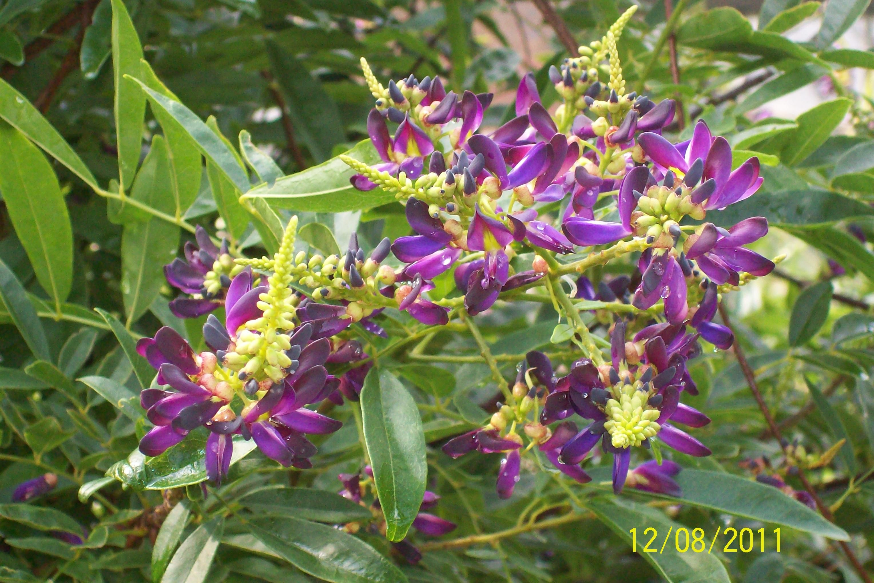 This Is The Evergreen Wisteria Vine Not Any Kin To The Reg Wisteria It Blooms In The Summer For A Long Time Flowers Shrubs Plants