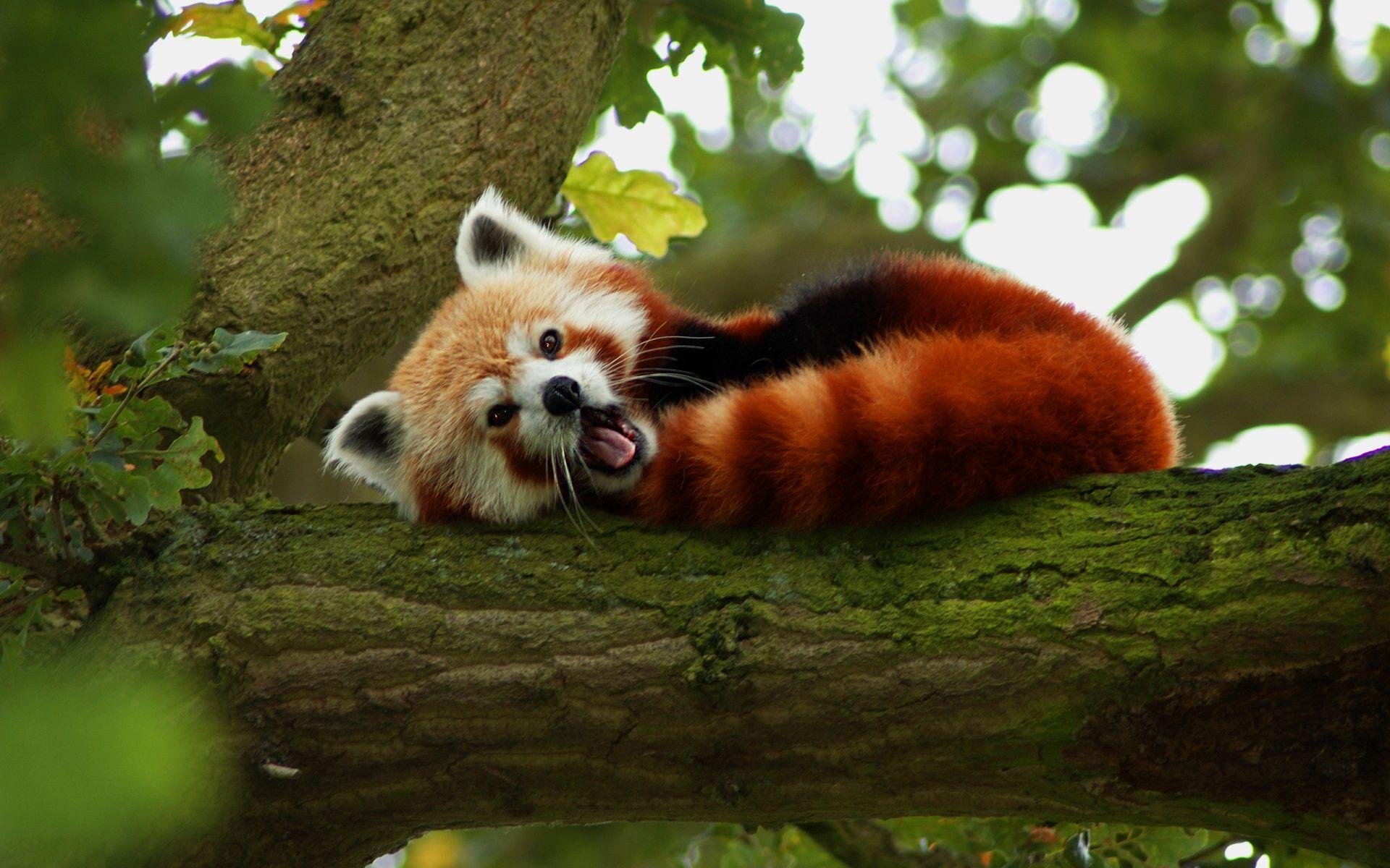Animaux Panda Roux Fond d'écran | Panda roux, Animaux sauvages, Animaux