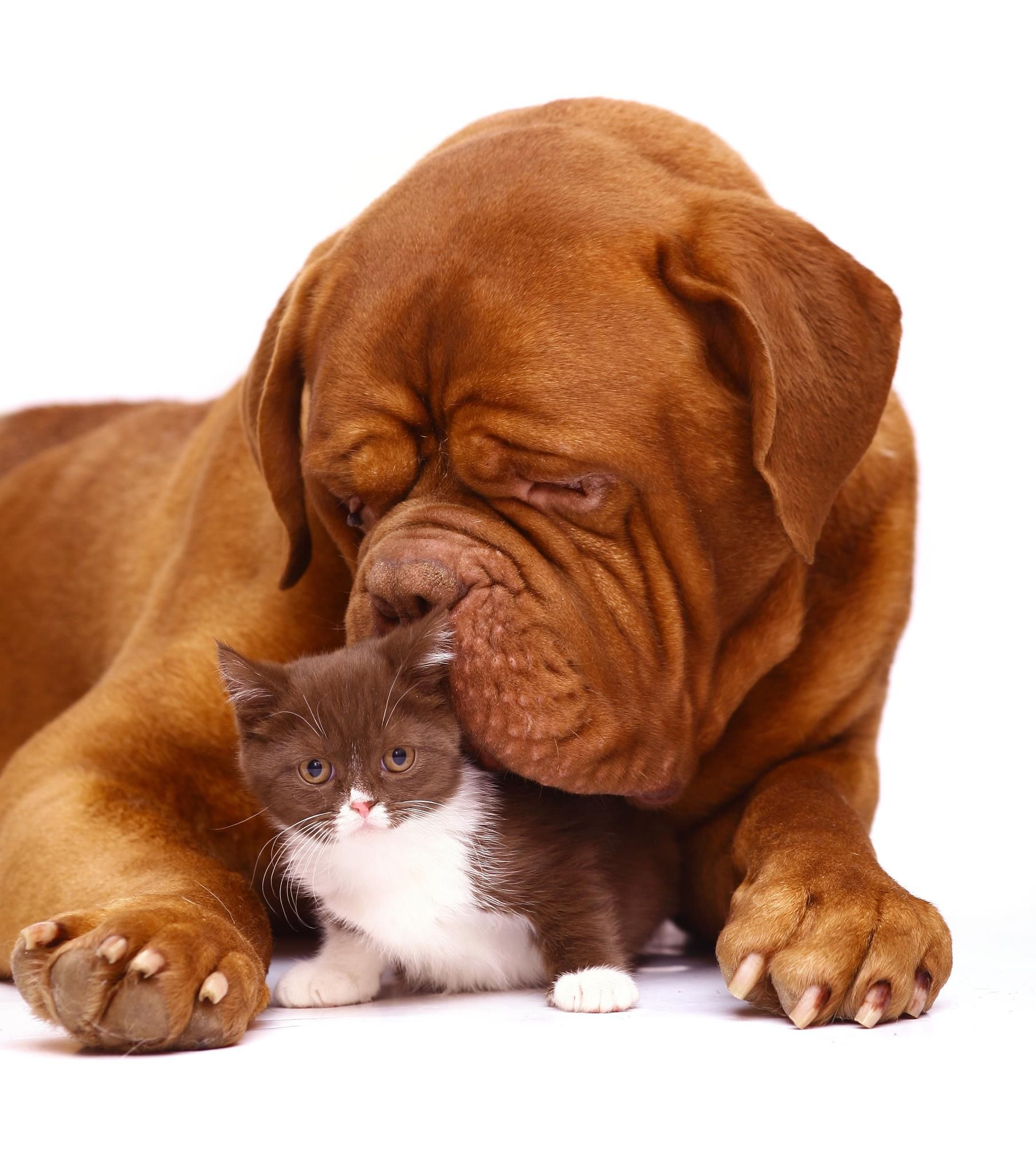Dogue de Bordeaux and adorable chocolate and white kitten ...