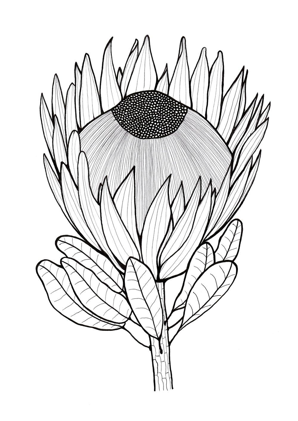 Glorious Protea Flowers to Color Protea art, Drawings, Art
