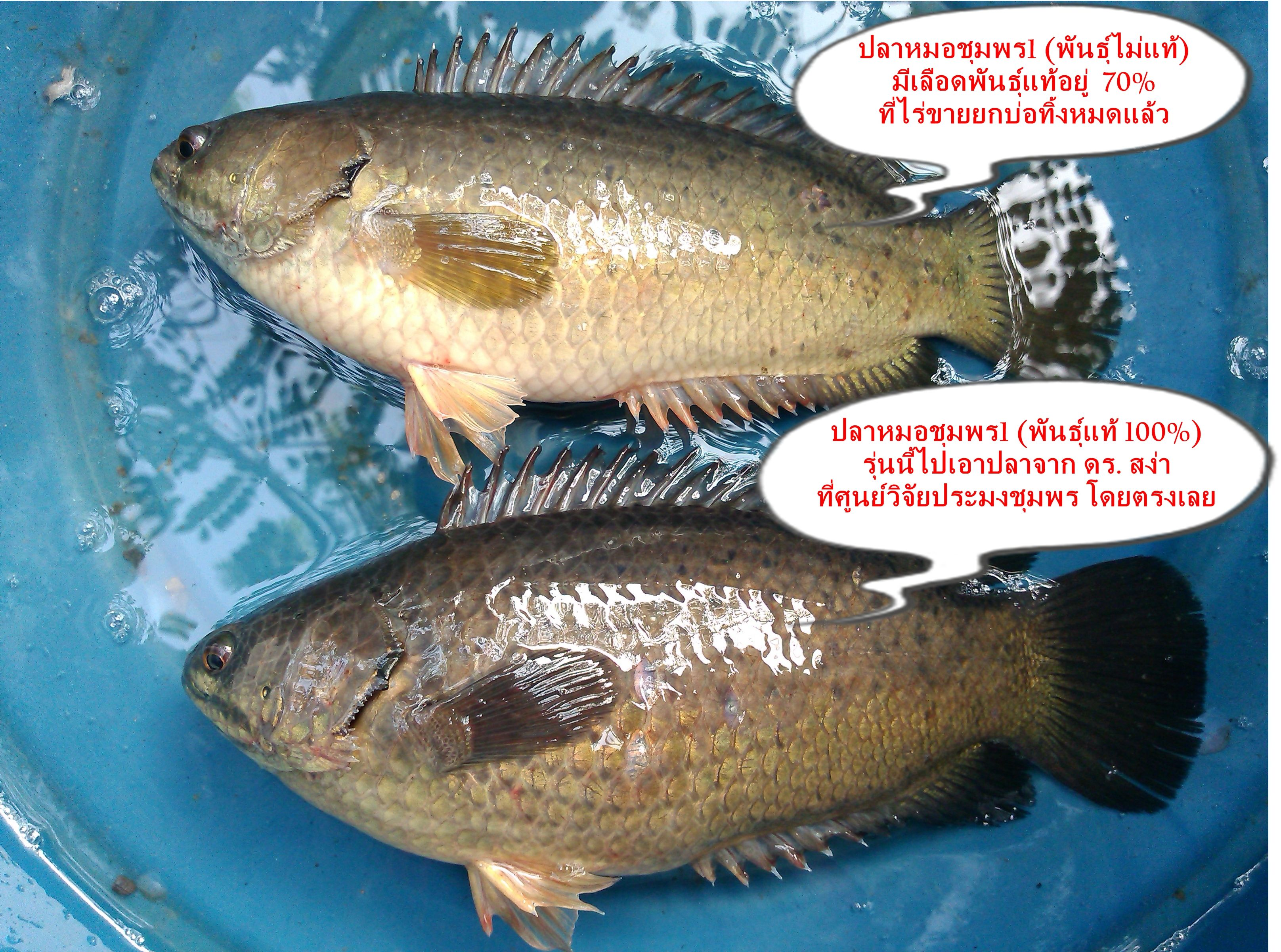 ปลาหมอพ นธ ช มพร1 แท ก บพ นธ ปลาหมอไม แท ต างก นอย างไร หมาแมว ปลา