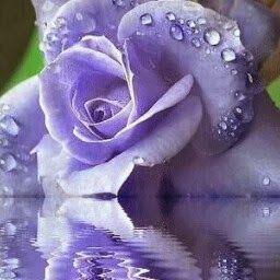 https://www.google.it/blank.html | Blue roses, Flowers gif, Beautiful roses