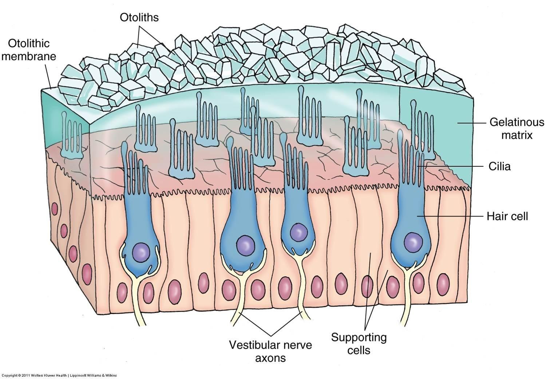 Pin by Glenn Kageyama on Hair cells | Pinterest | Vestibular system