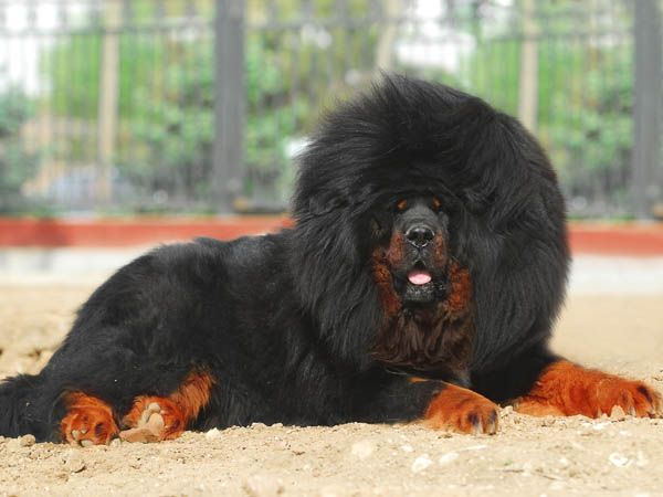 Tibetan Mastiff. According to Guinness' World Record holders, the Mastiff is the largest of dogs.