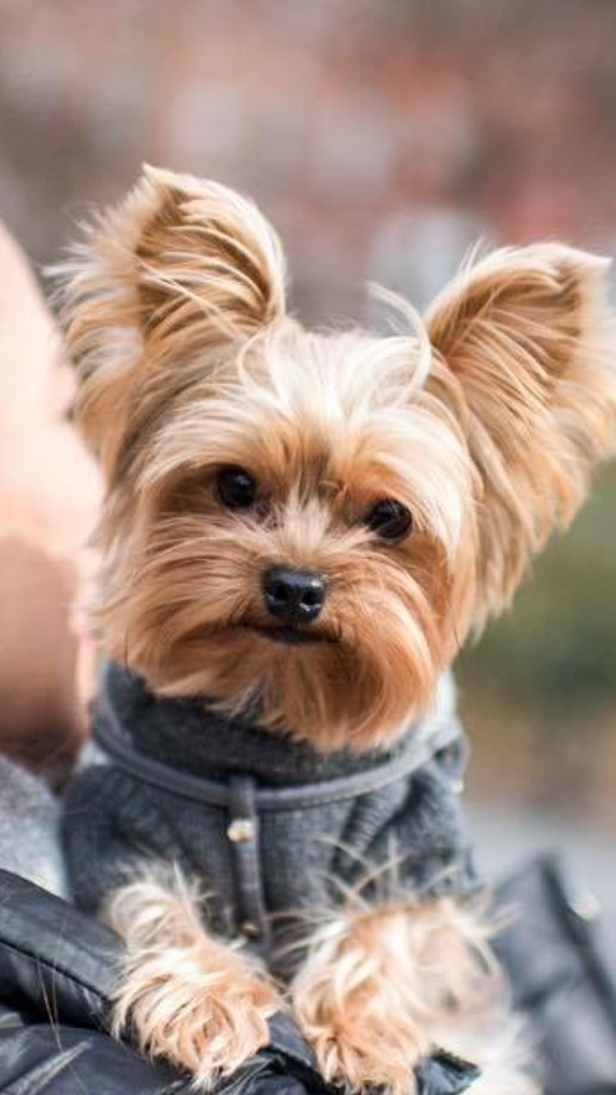 Pin By Thisvegan Diane On Beautiful Animals Yorkshire Terrier