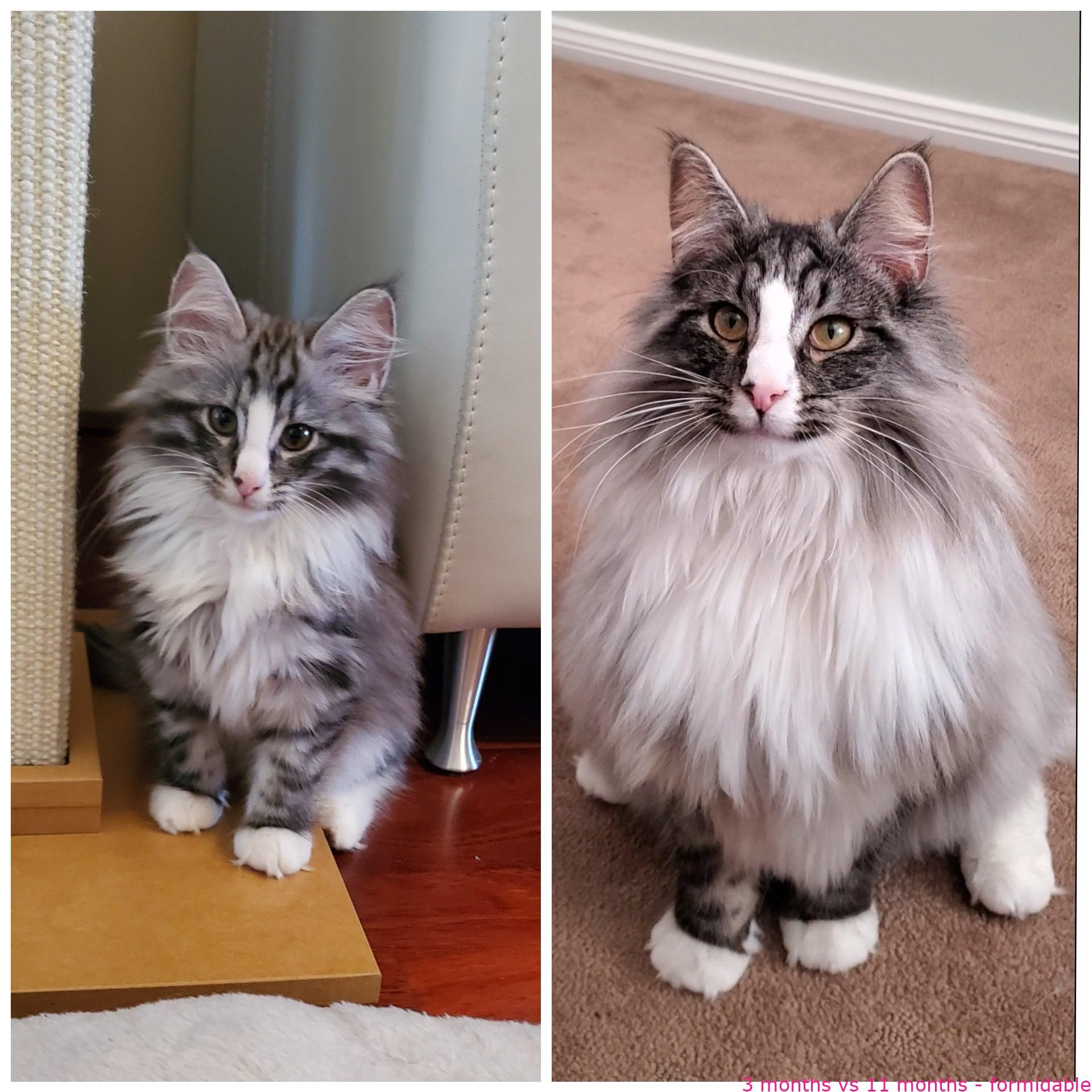 Cats 3 Months Vs 11 Months Formidable In 2020 Cute Cats And Kittens Cats Beautiful Cat