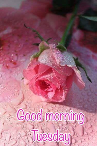 Good Morning Tuesday Beautiful Roses