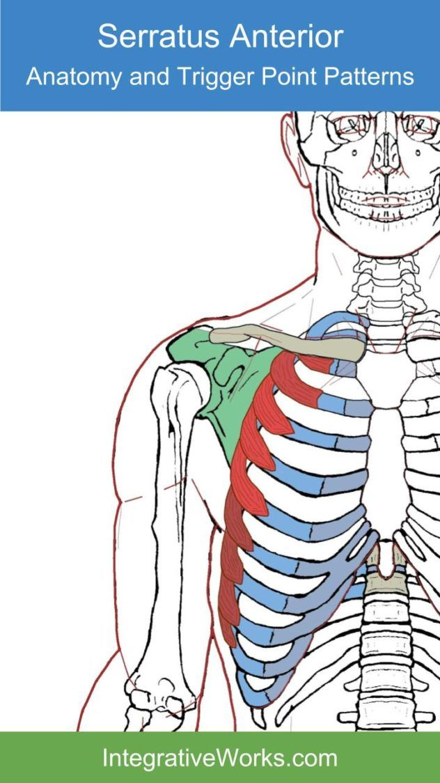Serratus Anterior – Functional Anatomy | Scapula and Muscles