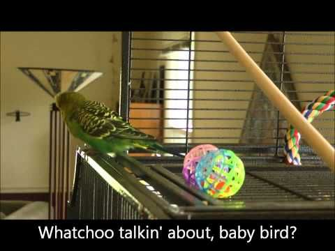 Beatboxing Budgie Chanting Away Disco Budgie In The House Tonight Eat Some Millet And Have A Good Time