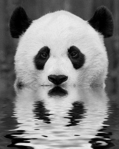 Reflexo de um panda.