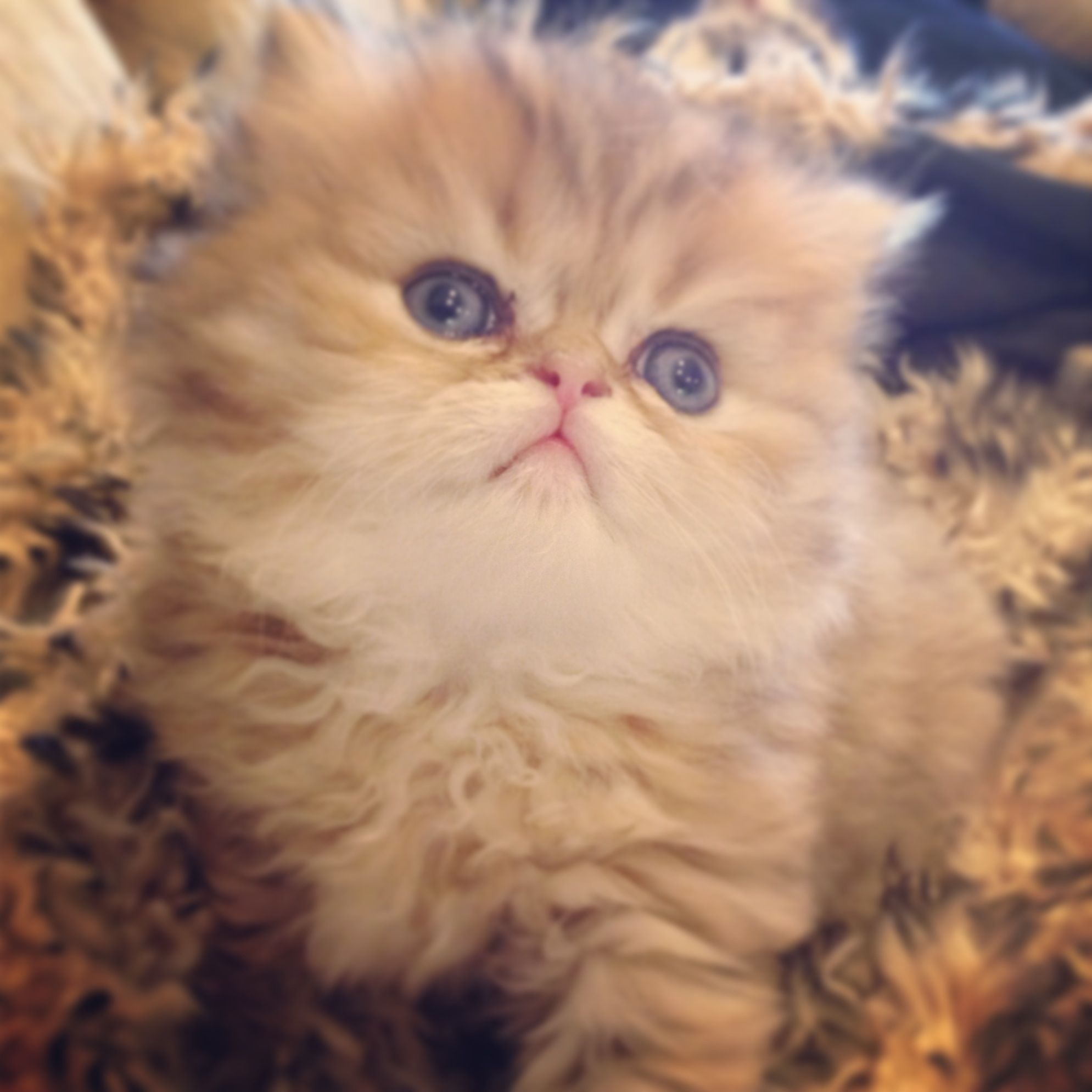 New Kittens Available Teacup Size Golden Silver Chinchilla Shaded With Green Eyes 813 409 84 Cute Cats And Dogs Persian Kittens For Sale Persian Kittens