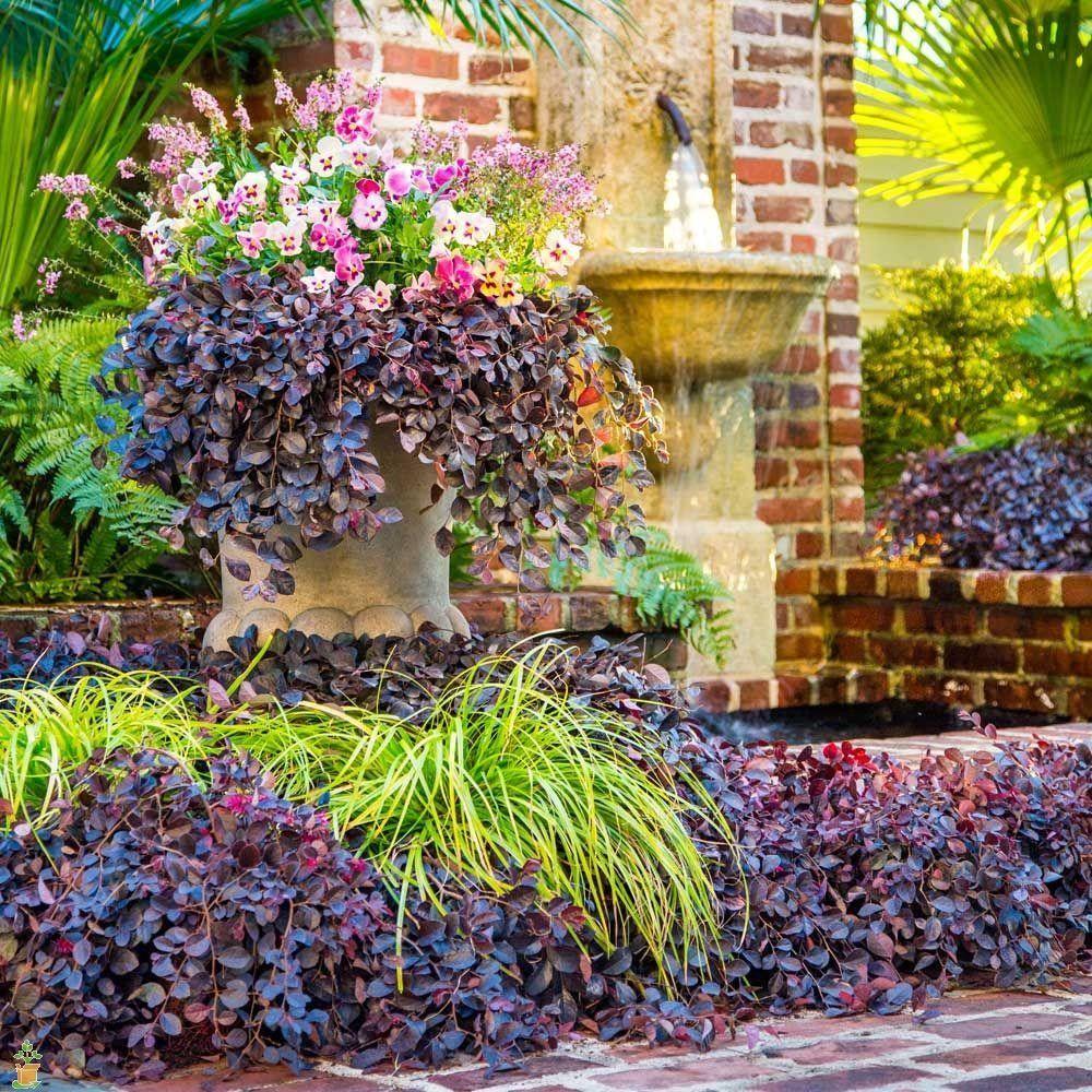 purple pixie® loropetalum | southern living collection | dwarf
