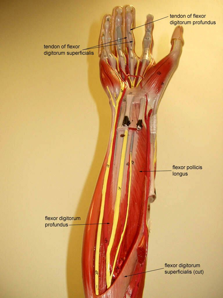 Somsoarmmusclemodellabeled Upper Extremity Anatomy Lab 2