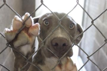 Petango.com – Meet Diane, a 1 year 5 months Weimaraner / Mix available for adoption in CLINTON, OK Contact Information Address  PO Box 262, CLINTON, OK, 73601  Phone  (580) 309-7534  Website  http://gofetch.rescuegroups.or g  Email  go_fetchclinton@yahoo.com