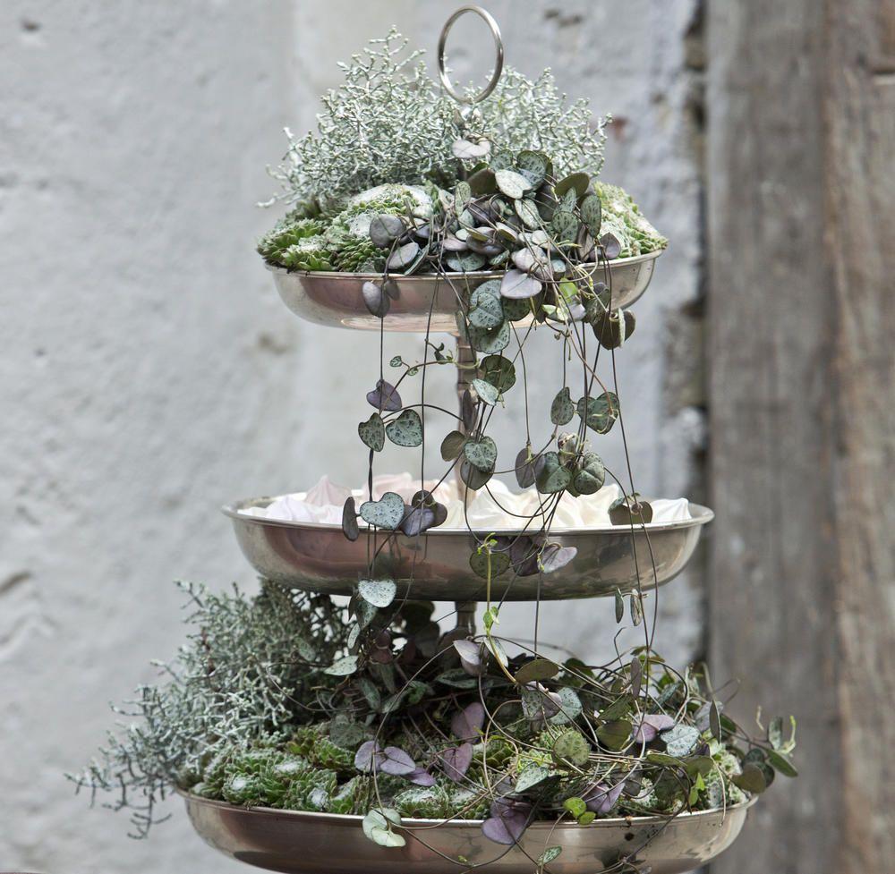 Leuchterblume: Malerische Ampelpflanze