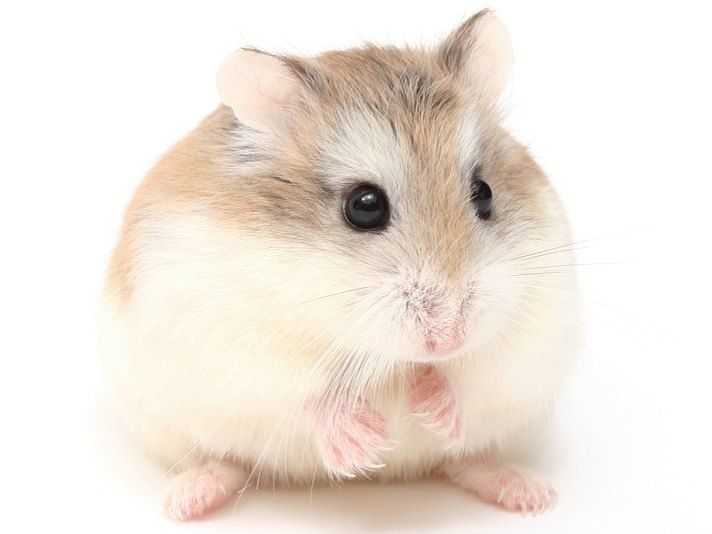All About Syrian Teddy Bear Hamster House Care Toy Feeding Lifespan Hamster Breeds Hamsters As Pets Cute Hamsters