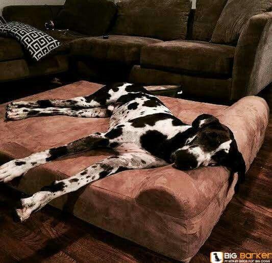 Hundebett Fur Grosse Danen Gemacht Big Barker Betten Habe Einen