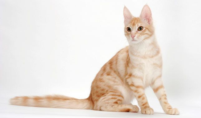 Turkish Angora Cat Breed Information (With images