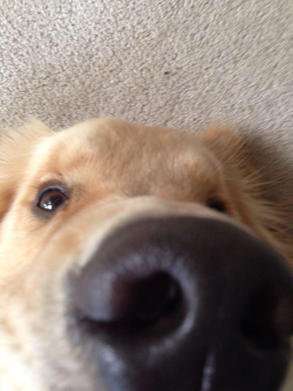 Tumblr Dog life, Golden retriever, Husky mom