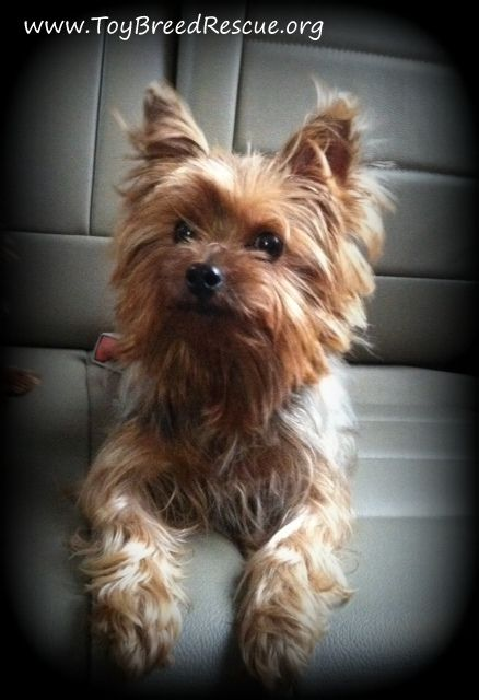 I Found Penny On Fyi Pinterest Yorkshire Terrier Terrier And