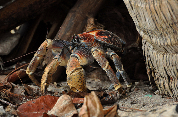 looks like it s time for this coconut crab to leave the tree hollow and go look for some food according to ryshard antonio who took this photogra