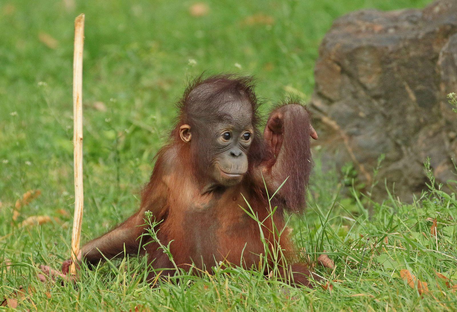 Sumatran Orangutan Sabbar Ouwehands Bb2a2748 Sumatran Orangutan Orangutan Baby Orangutan