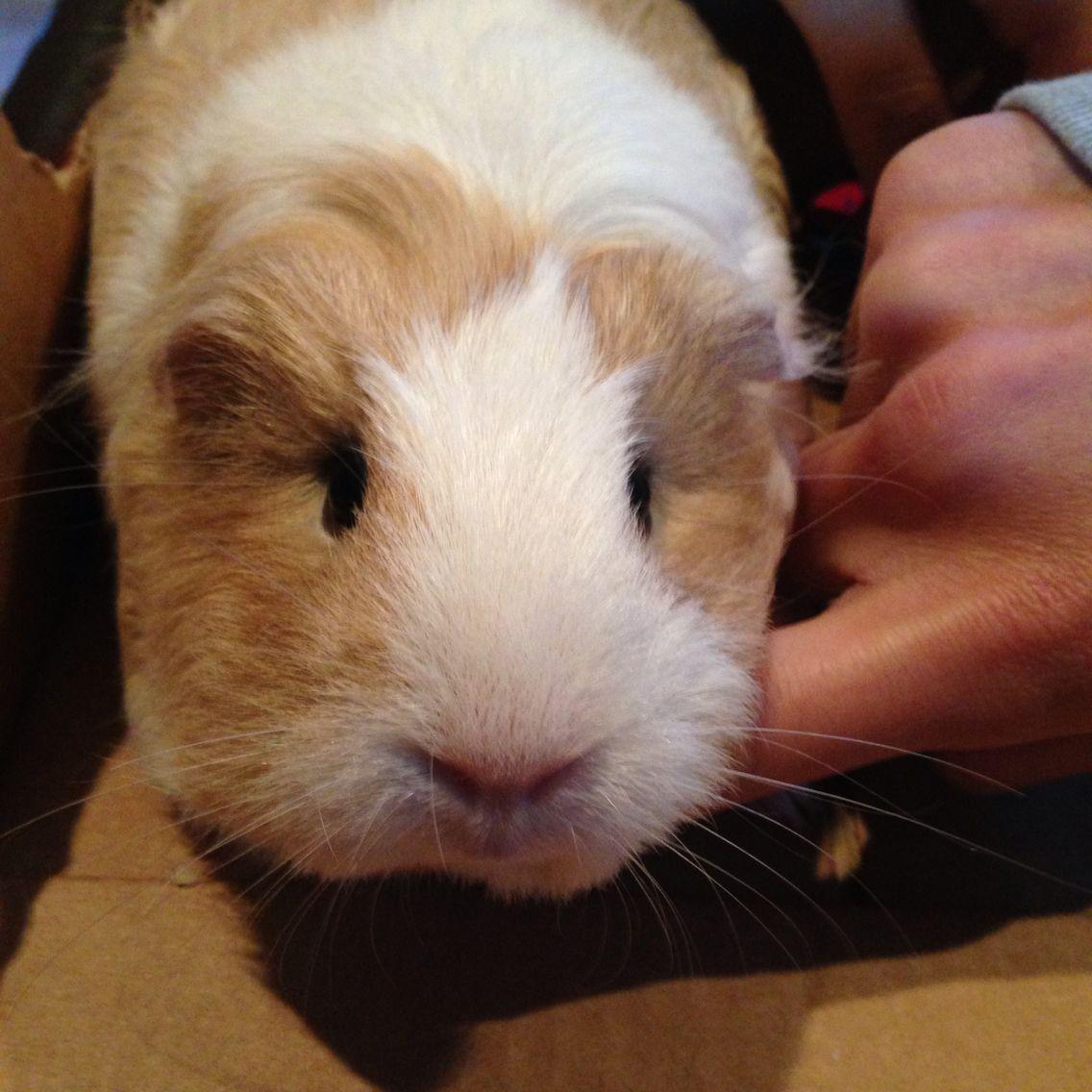 Pin On Guinea Pig Pets Mocha And Oreo