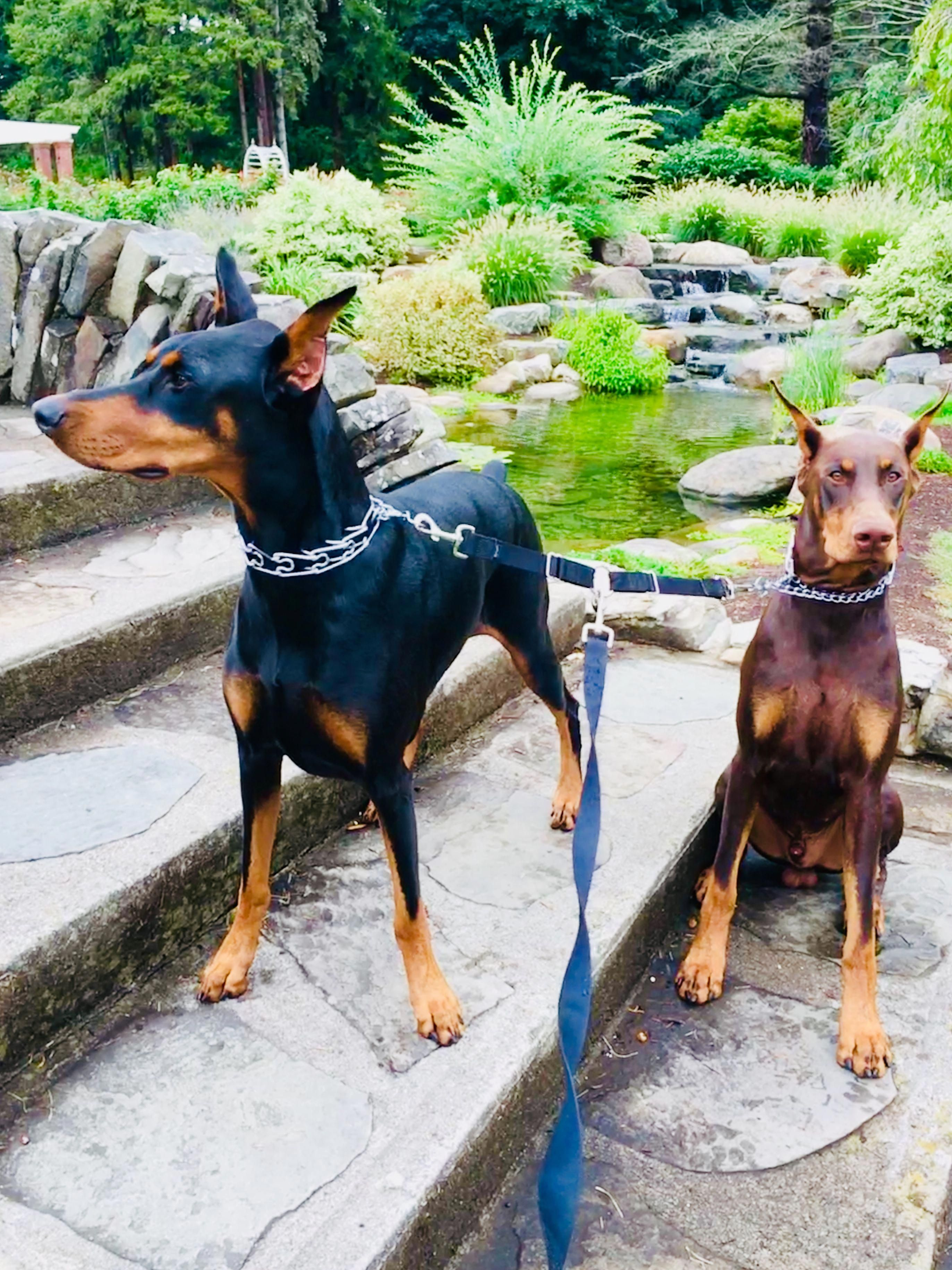 Things I Love About The Loyal Doberman Puppy Dobermanpuppies