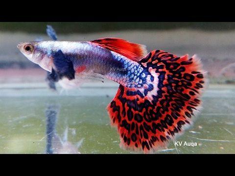 Chilli Platinum Mosaic Guppy Pair Youtube Oscar Fish Guppy Fish Fresh Water Fish Tank