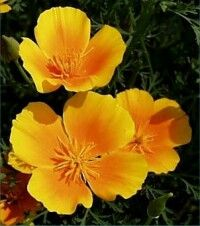 Golden Poppy Eschscholzia State Flower Ca Tattoo Pinterest