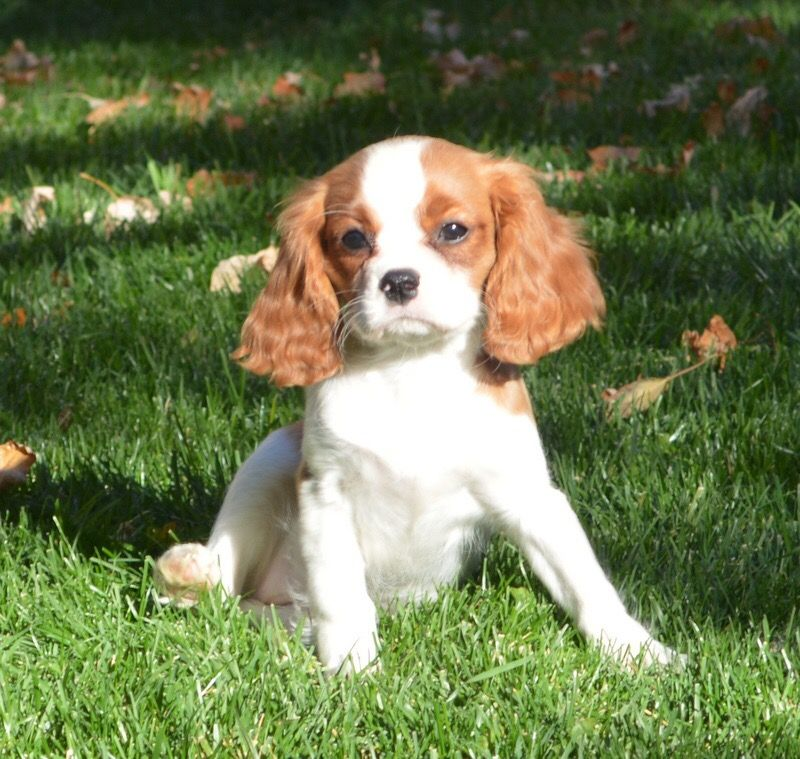 Cavalier King Charles Spaniel Puppies Available For Adoption Cradle O King Charles Cavalier Spaniel Puppy Cavalier King Charles Spaniel Cavalier King Charles